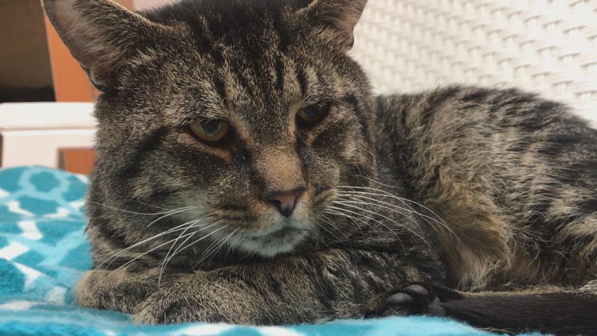 Austin Pets Alive! Cat