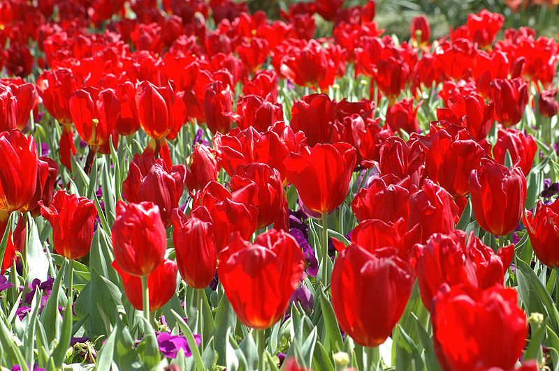 800px-Red_Tulips