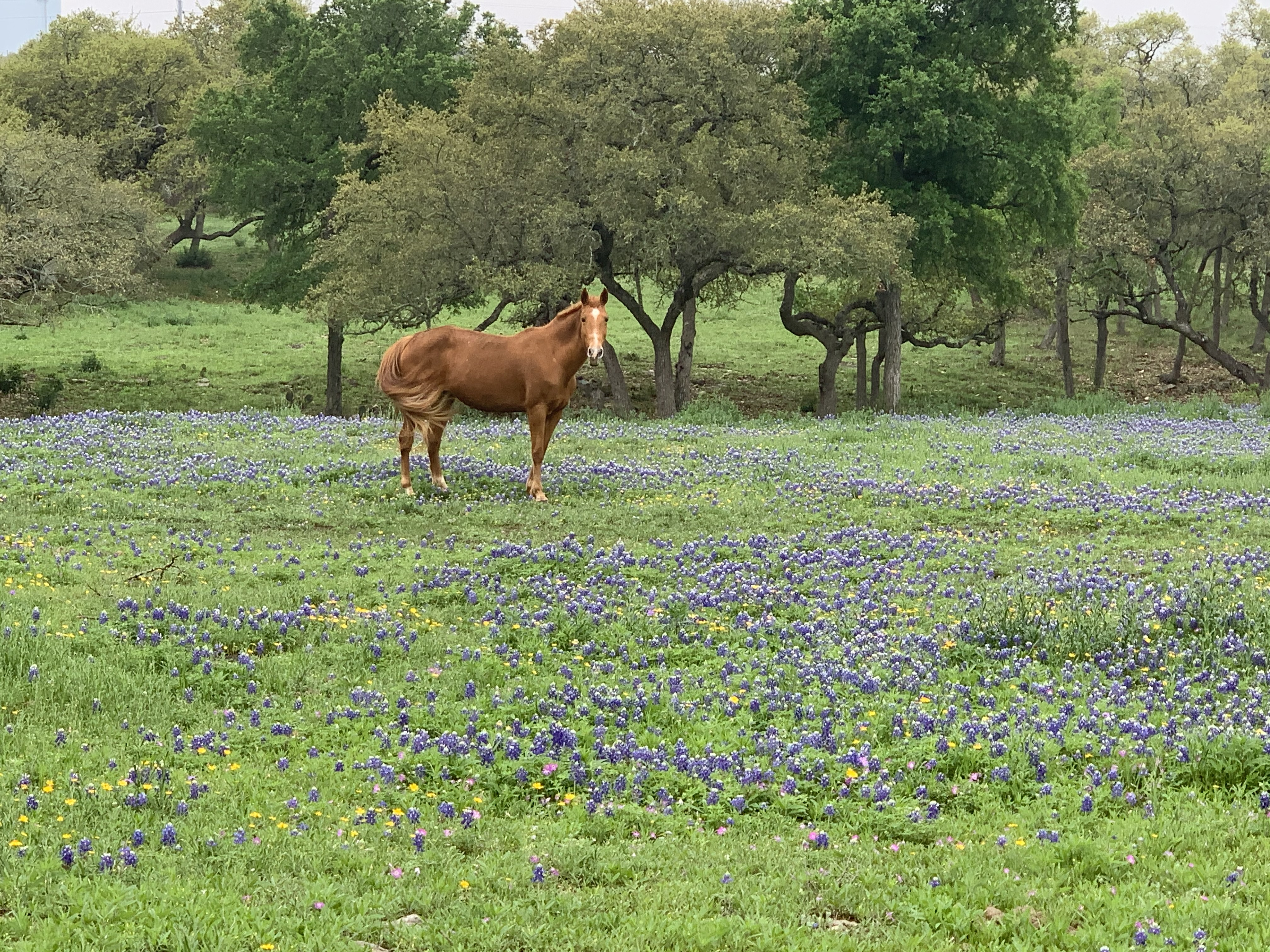 Red horse in bluebonnets. (Courtesy Tera Weiss)
