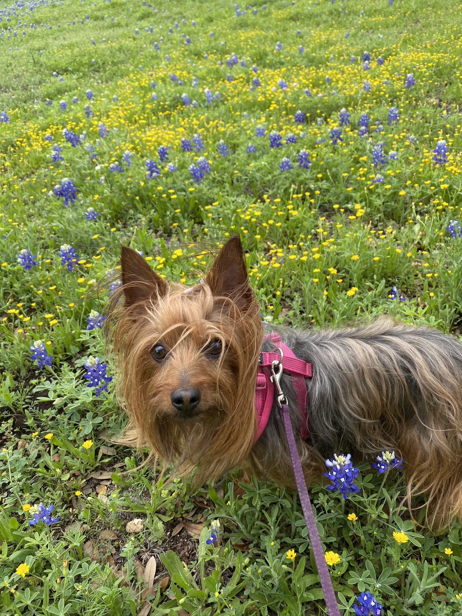 A little bit of sunshine and bluebonnets...Skyy is enjoying the weather (Courtesy Kathi Deaton)