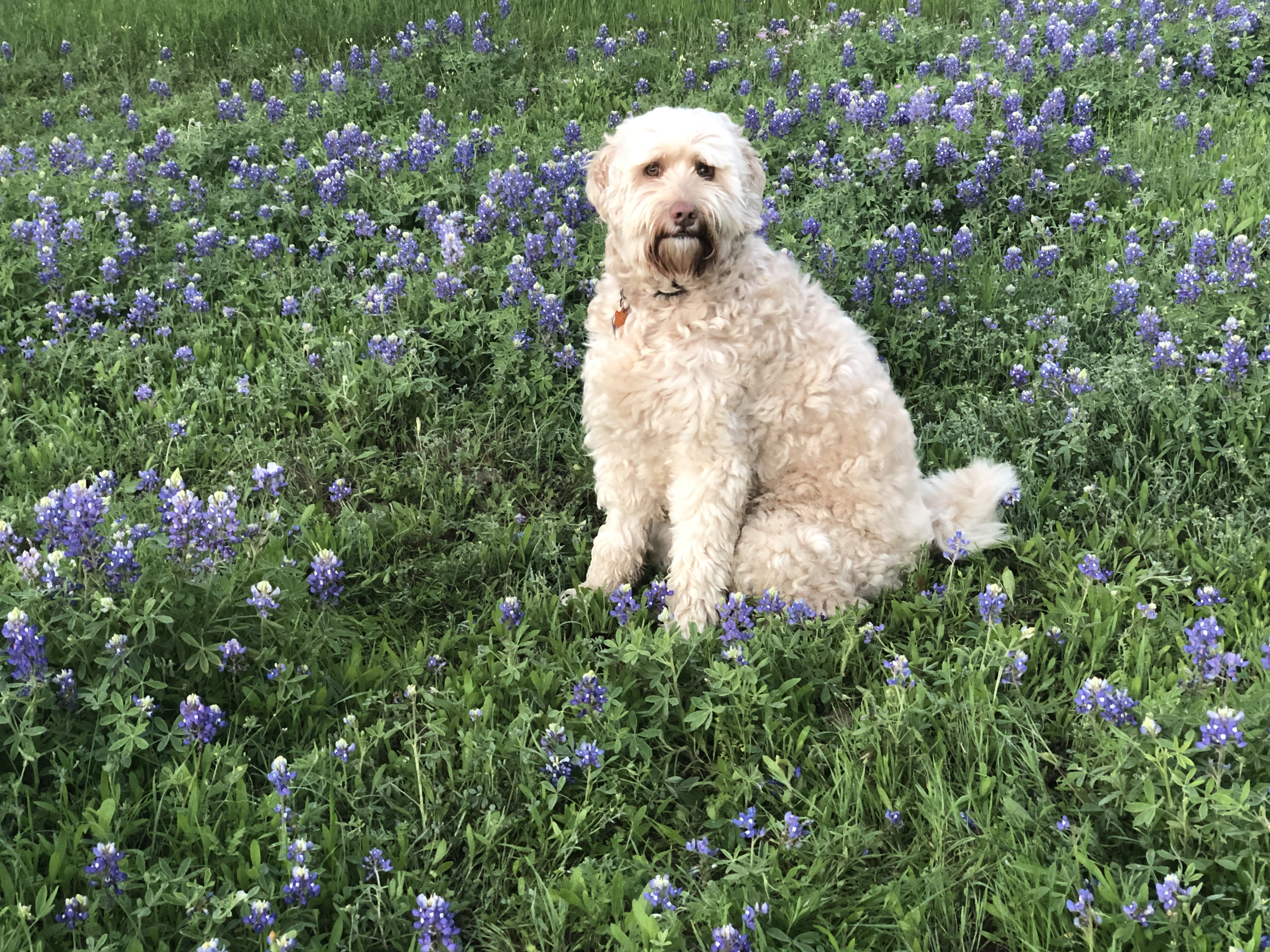 Brandy, the labradoodle, during an early morning walk at Circle C park March 25, 2020 (Courtesy Keith Melrose)