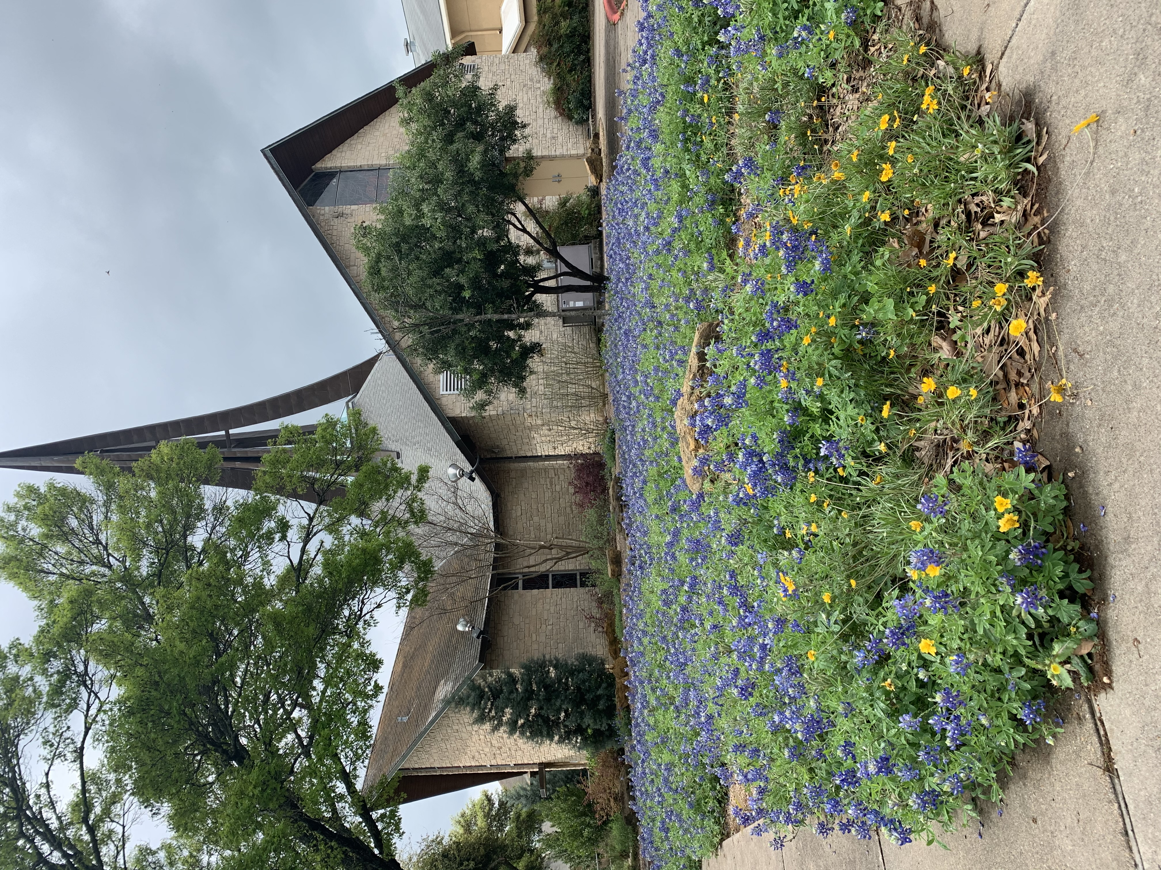 Bluebonnets at Redeemer Austin 1500 W Anderson Lane Austin, Texas 78757 (Courtesy Janet Mandeville)