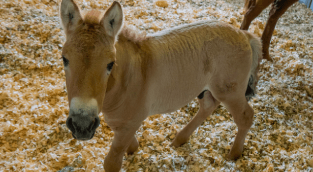 A Przewalski's horse, born on Aug. 6, was cloned from the DNA of a male Przewalski's horse preserved by the San Diego zoo in 1980 (Courtesy Viagen Pets)