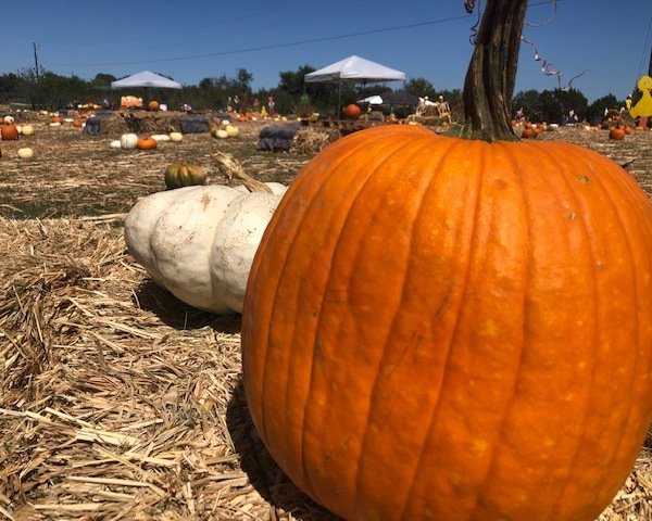 Pumpkins at the Texas Pumpkin Fest in Leander. (KXAN Photo/Ed Zavala)