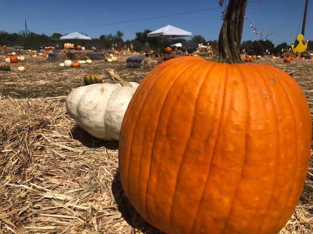 Pumpkins at the Texas Pumpkin Fest in Leander. (KXAN Photo/Ed Zavala)