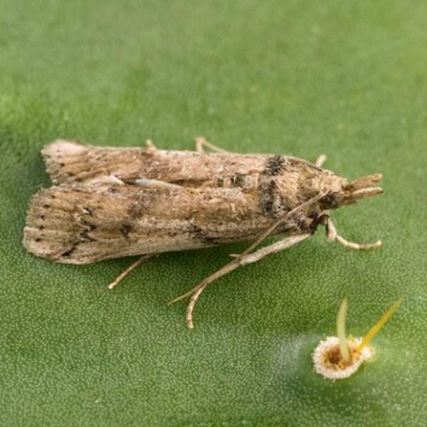 Cactus moth (University of Texas at Austin Photo)