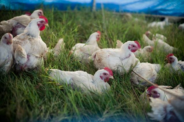Chickens in a pasture at Dewberry Hills Farm in Lexington, Texas (Courtesy Jane Levan)