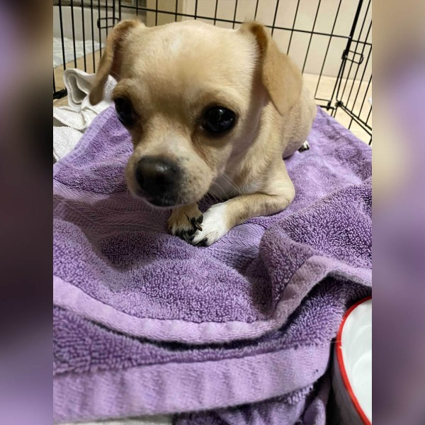 """A photo of """"Gizmo"""" a chihuahua found abandoned outside a grocery store in southwest Austin. (Photo: Leslie Maguire)"""