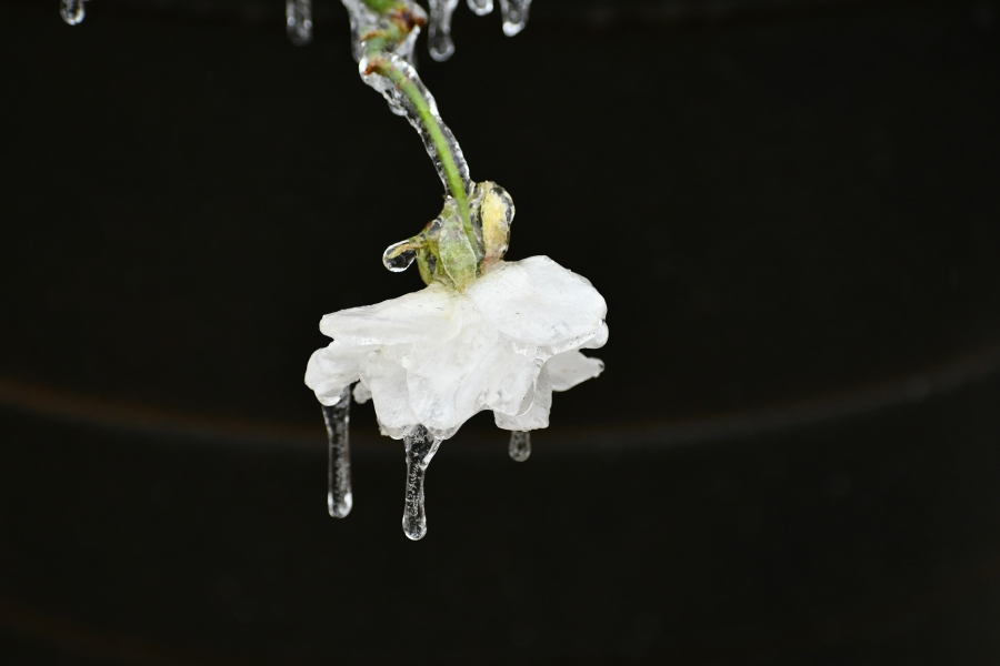 Ice on flowers in Leander Feb. 11, 2021 (Courtesy Laura Dow)