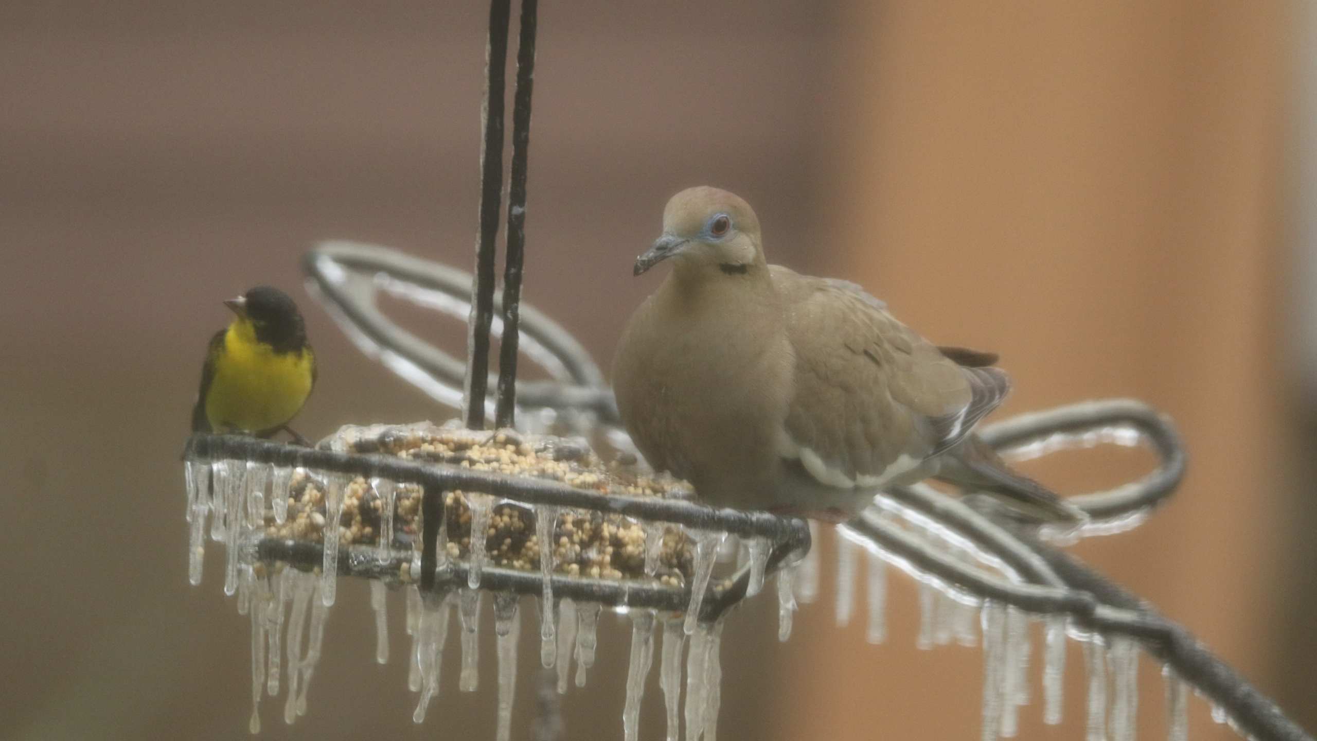 Birds on a frozen feeder in Cedar Park Feb. 11, 2021 (Courtesy Susan Thomas)