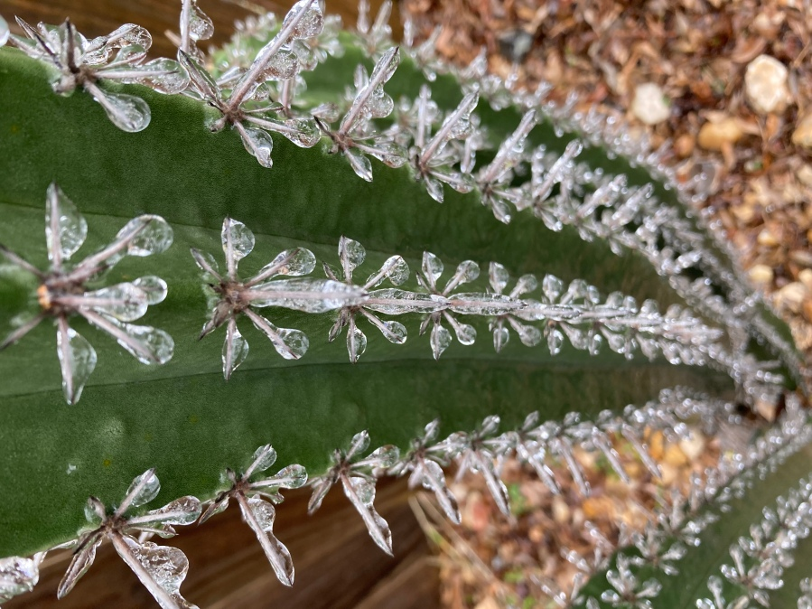 Cactus covered in ice in Pflugerville Feb. 11, 2021 (Courtesy Rose Zepeda)
