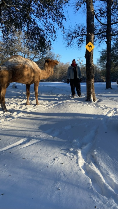 Camel at Indian Springs Ranch Courtesy Taylor Wier