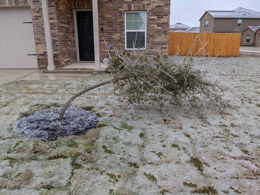 A tree bent by ice in Jarrell Feb. 11, 2021 (Courtesy Brittany Mahn)