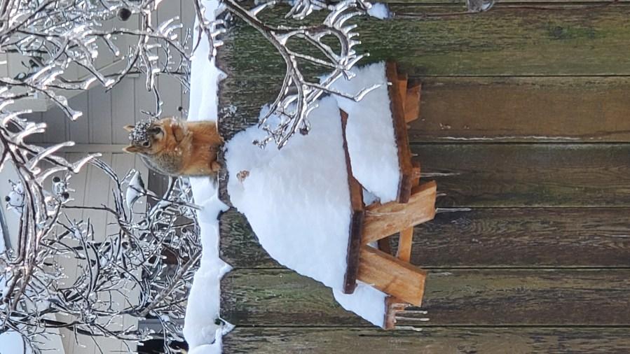 Squirrel in Cedar Park Courtesy Crystal Howell