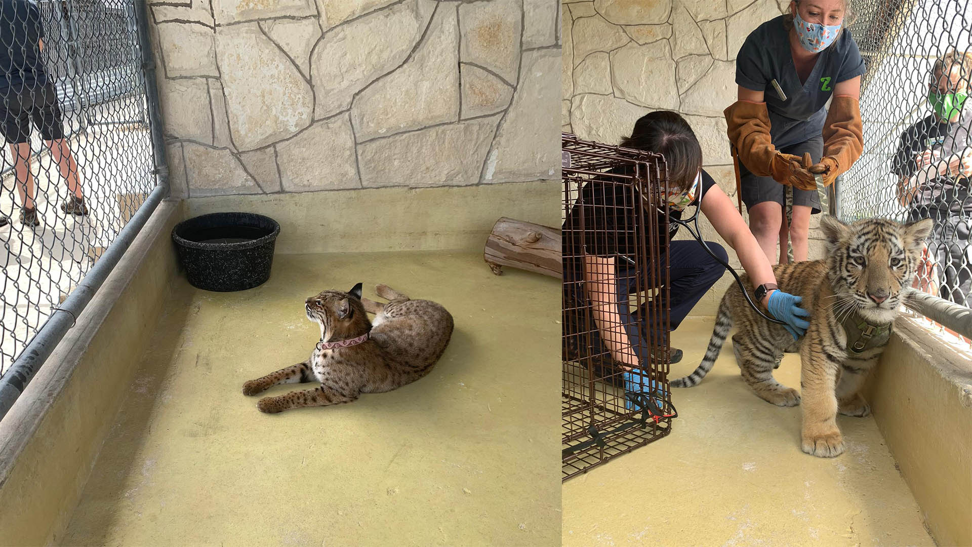 Tiger cub and bobcat seized from home in Bexar County (San Antonio Zoo Photos)