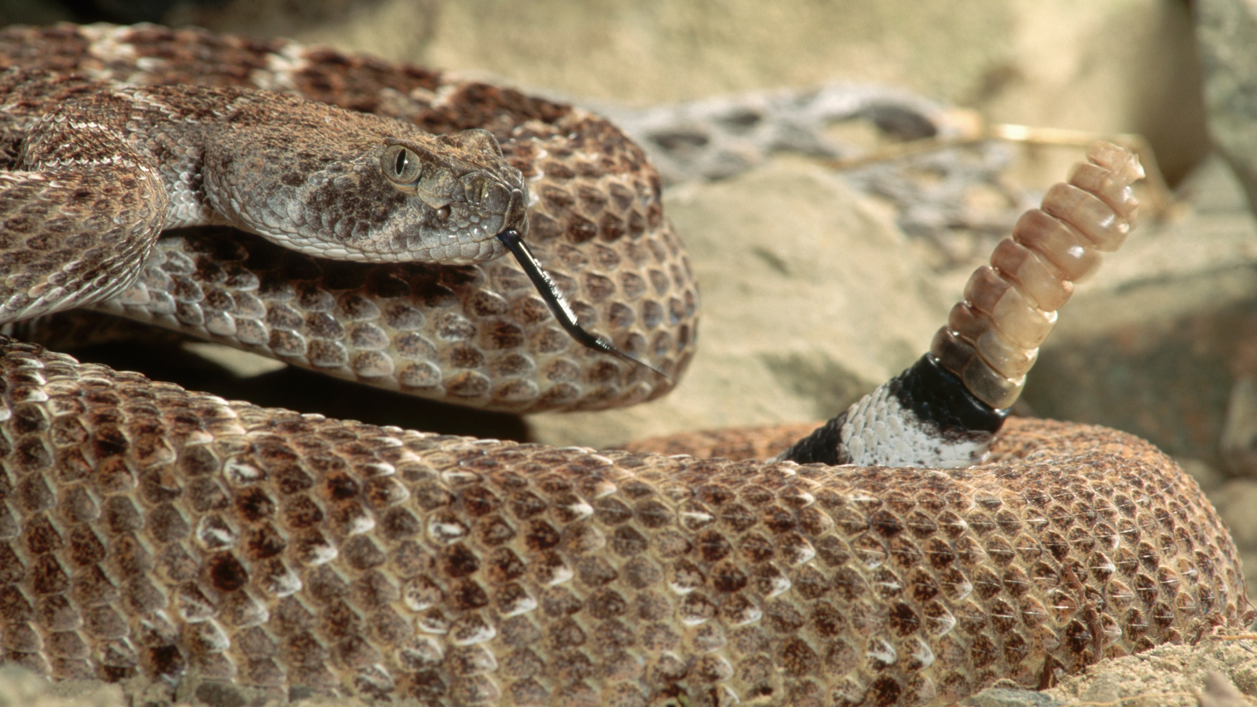 Rattlesnake bites California man who tried to pick it up with BBQ tongs |  KXAN Austin