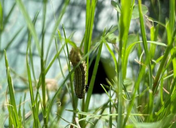 Armyworm infestation hits Leander neighborhood