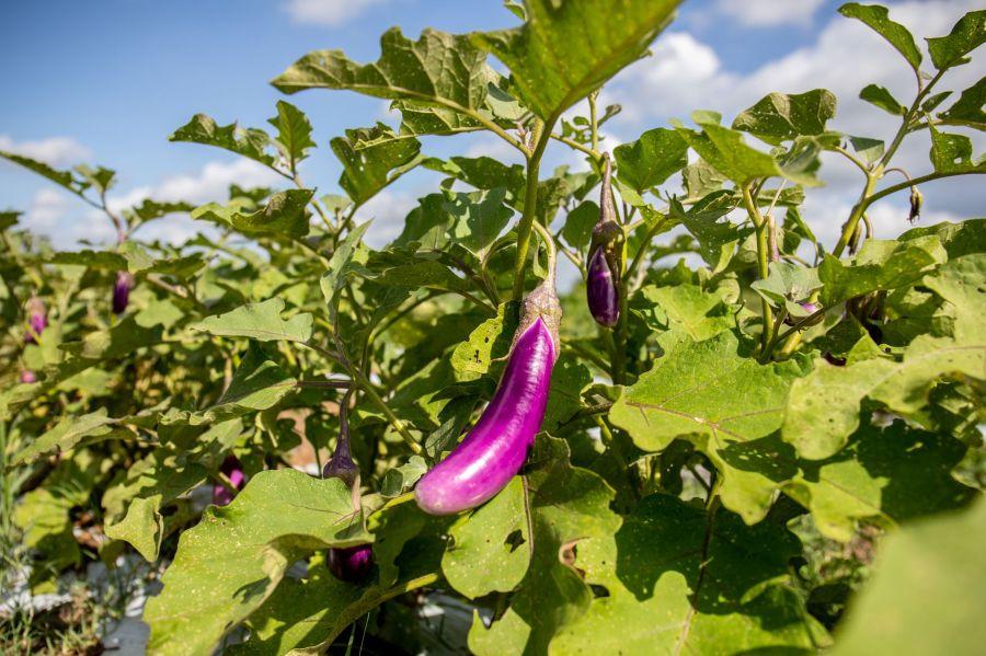 B5 Farm Eggplants 2