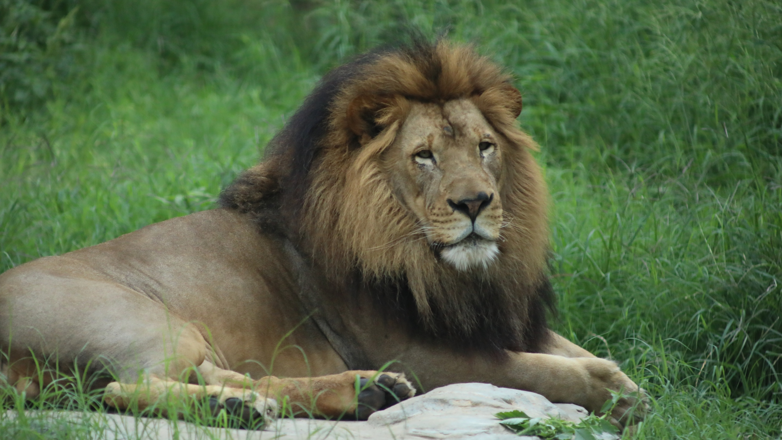 The San Antonio Zoo will vaccine its animals against COVID-19 with a shot from the company Zoetis, first starting with lions, tigers and primates. (San Antonio Zoo photo)