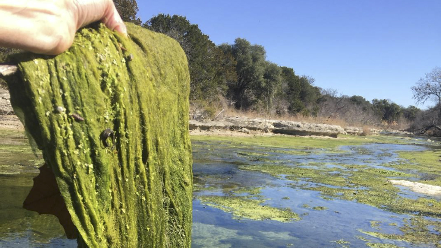 Algae bloom in South San Gabriel River downstream of the Liberty Hill wastewater plant (Courtesy Save Barton Creek Association)