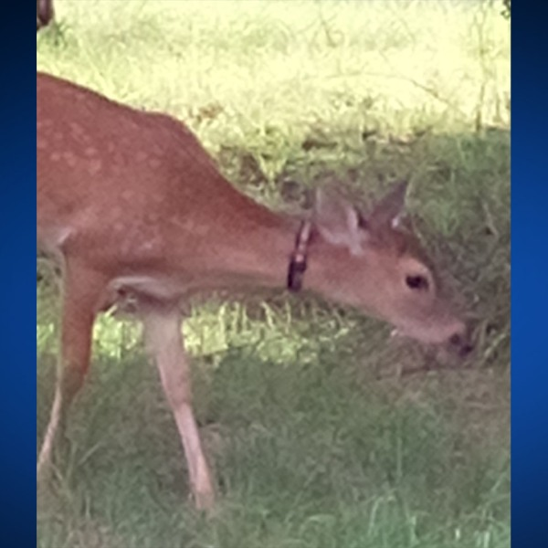 A deer in Spicewood has garnered attention after an unknown resident placed a collar on it. Neighbors are now concerned the deer's airways are being restricted as it grows. (Courtesy: Fifi Compton)