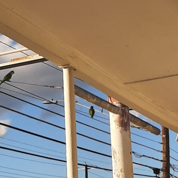 Monk parakeets outside a business in central Austin (Picture: Mieka Davenport)