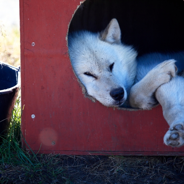 A greenland husky rests in a dog house. (Getty Images)